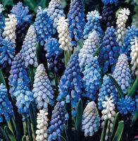 Луковичные(тюльпаны, нарциссы) СВОБОДНОЕ на осень 2020 -3/20 — Мускари — Семена декоративных трав