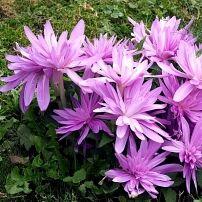 Луковичные(тюльпаны, нарциссы). Свободное на осень — Различные луковичные