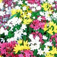 Луковичные(тюльпаны, нарциссы) СВОБОДНОЕ на осень 2020 -3/20 — Лук декоративный — Семена декоративных трав