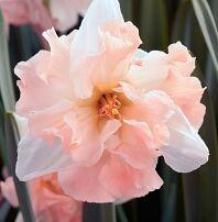 Лук севок, чеснок, пионы, тюльпаны и другие...Распродажа. — Нарциссы разные — Семена многолетние