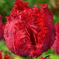 Луковичные(тюльпаны, нарциссы) предзаказ на осень 2020 -2/20 — Бахромчатые тюльпаны — Декоративноцветущие