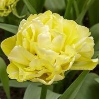 Луковичные(тюльпаны, нарциссы) предзаказ на осень 2020 -2/20 — Махровые ранние тюльпаны — Декоративноцветущие