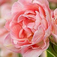 Луковичные(тюльпаны, нарциссы) предзаказ на осень 2020 -2/20 — Многоцветковые тюльпаны — Декоративноцветущие