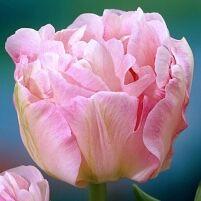 Луковичные(тюльпаны, нарциссы) предзаказ на осень 2020 -2/20 — Махровые поздние тюльпаны — Декоративноцветущие