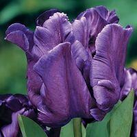 Луковичные(тюльпаны, нарциссы) предзаказ на осень 2020 -2/20 — Попугайные тюльпаны — Декоративноцветущие