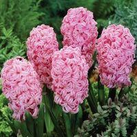 Лук севок, чеснок, пионы, тюльпаны и другие...Распродажа. — ГИАЦИНТЫ Садовые — Семена многолетние