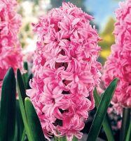 Луковичные(тюльпаны, нарциссы) предзаказ на осень 2020 -2/20 — ГИАЦИНТЫ класс махровый — Декоративноцветущие