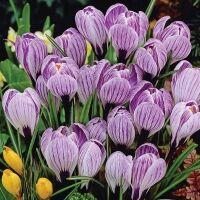 Луковичные(тюльпаны, нарциссы) предзаказ на осень 2021 — Крокусы крупноцветковые