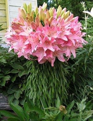 Марлен ЛИЛИИ АЗИАТСКИЕ Цена за 1 упаковку.  Лилии - многолетние луковичные растения. Высота у разных видов от 30 до 200 см. Есть сорта для выращивания в горшках. Месторасположение: Предпочитают солнеч