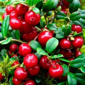 Брусника Санна (С2)Vaccinium vitis idaea Sanna