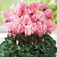 Цикламен Бахромчатый Восторг розовый