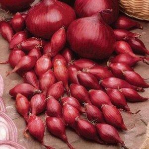 Ред Барон ЦЕНА УКАЗАНА ЗА 0.5 КГ Ред Барон. Раннеспелый, период от прорастания севка до технической зрелости проходит 92-95 дней. Луковицы плоско-округлые, массой 18-24 г. Сухие чешуи красного цвета,