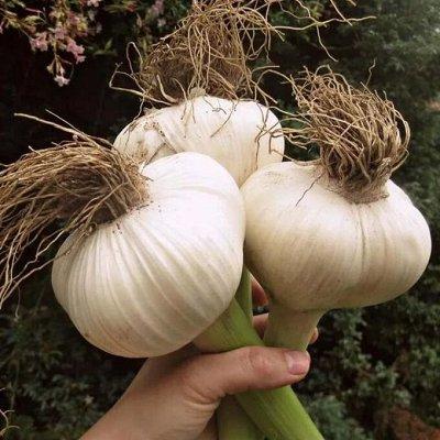 Озимые лук-севок и чеснок в наличии! Таких цен не бывает! — Озимые чеснок и лук для посадки  — Семена овощей