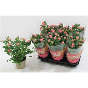 Роза лотц розовая