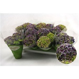 Гортензия биколор зеленый + фиолетовый