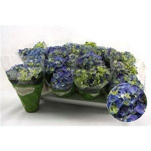 Гортензия биколор зеленый + синий