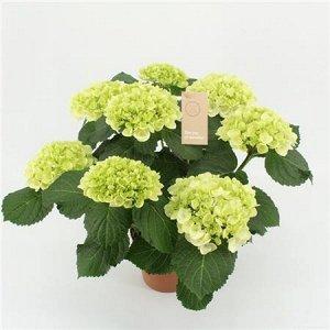 Гортензия Кристал Пэлас 7-8 цветков