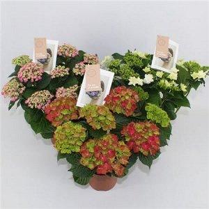 Гортензия спешл микс 5-6 цветков