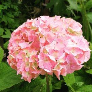 Гортензия кудрявая розовая