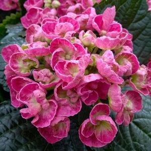 Гортензия керли верли розовая