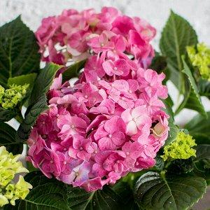 Гортензия ерли розовая