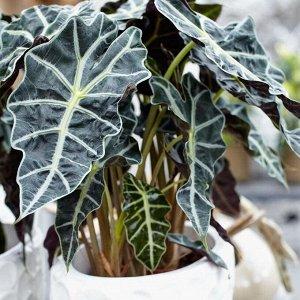 Аллоказия Диаметр горшка: 17 см Примерная высота растения: 80 см  Классная, взрослая, много листьев.  Алоказия «Полли» является не только декоративным растением, но и лечебным. Лечебные препараты на о