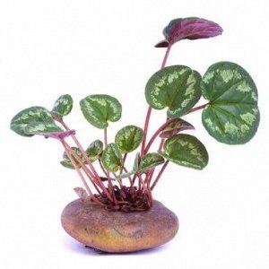 Цикламена клубни (март-ноябрь,для приготовления капель от гайморита и посадки) 5 клубней