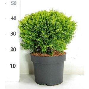 Туя Даника Диаметр 23 Высота20 Cm  Хвойное вечнозеленое дерево туя является частью семейства Кипарисовые. Оно отличается специфическим ароматом. Шишки на данном голосеменном однодомном растении выра