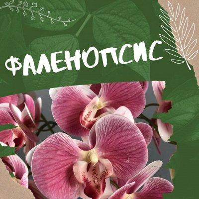 Хищный Sale! Огромный выбор комнатных растений!  — Любимые ФАЛЕНОПСИСЫ! ТАКИХ расцветок Вы ещё не видели! — Декоративноцветущие