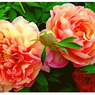 7 цветов! Свободные! — Пионы — Семена цветов
