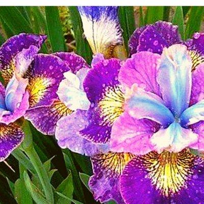 7 цветов! Свободные! — Ирисы — Семена цветов