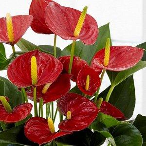 Антуриумы Диаметр горшка: 9 см Все в цветках и бутонах. РЕДКИЕ цвета! Второе фото реальное!  Если вы хотите украсить свое жилище яркими цветами, которые будут сверкать в сырое и холодное время года, т