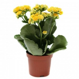 Каланхоэ Диаметр горшка: 12 см  Все цветут!  При поливе цветка необходимо придерживаться правила — лучше недолить, чем перелить. После полива лишнюю воду с поддона необходимо слить. Каланхоэ необходим