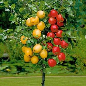 ДЕРЕВО_САД яблоня  привито 3 сорта на одном дереве!