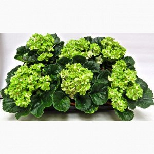 Фиалка Диаметр горшка: 12 см  Роскошные зеленые фиалки для настоящих ценителей!  Не следует допускать перелива или, напротив, пересыхания грунта. Переувлажнение почвы может привести к развитию грибков