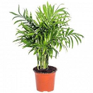 Хамедорея Диаметр горшка: 9 см, плотно набит побегами Высота растения примерно 30-35 см  Самая неприхотливая пальма! Это растение летом нужно поливать обильно, не допуская пересыхания почвы в горшке.