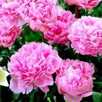 Предзаказ невероятных сортов роз и пионов! Предоплата 30%!