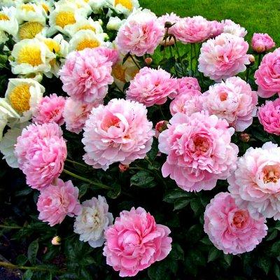 Невероятные сорта! Лилии, розы, пионы! На осеннюю посадку