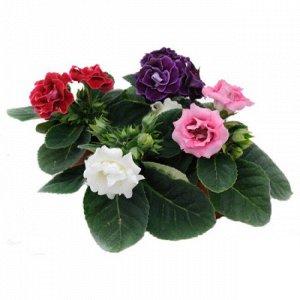 Глоксиния Диаметр горшка 12 Взрослое растение, распустившиеся цветы не перенесли транспортировки, но еще много бутонов. Фото реальное! Все в красивых упаковках!