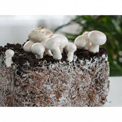 Предзаказ: Луковичные и Саженцы — ГРИБЫ — Мицелии грибов