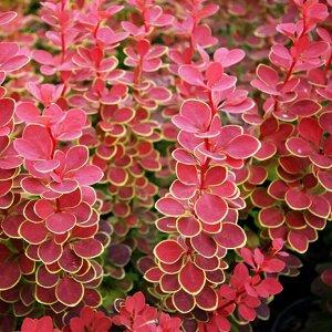 Барбарис Барбарис Тунберга Голден Ринг относится к высокорослым кустарникам. Взрослое растение может достигать в высоту 2,5 м, в ширину — 3 м. До этих размеров он разрастается спустя 10 лет после поса
