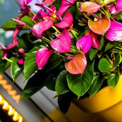 Комнатные растения! Каждые 3 дня новое поступление! — Декоративноцветущие — Комнатные растения и уход