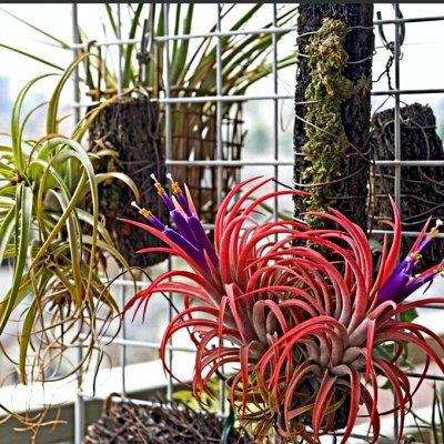 Комнатные растения! Большое поступление кактусов! — Атмосферные растения — Декоративнолистные