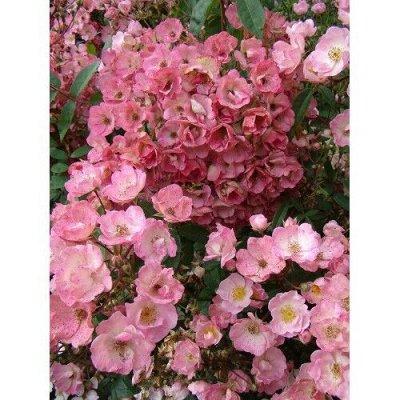 Леди Роза_Предзаказ 2021г. — Гибриды мускусных роз (Луи Ленс* Бельгия). — Декоративноцветущие