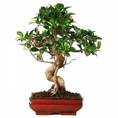 Комнатные растения! Каждые 3 дня новое поступление! — Бонсай — Декоративнолистные