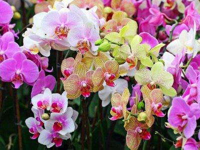 Комнатные растения! Каждые 3 дня новое поступление! — Орхидеи по сказочным ценам — Декоративноцветущие