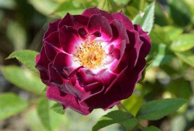 Леди роза — шикарные розы, предзаказ весна 2022 — Миниатюрные розы