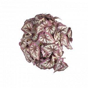 КС72-1 Бегония ампельная вишневая в кашпо