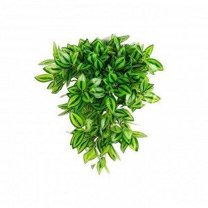 КС75 Традесканция ампельная зеленая в кашпо