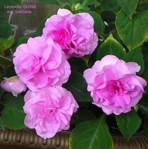 Бальзамин 'Lavender Orchid' /ЧЕРЕНОК